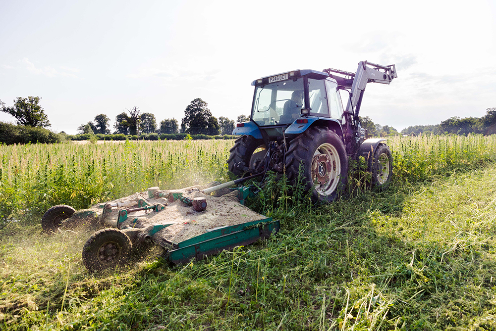 Destroying the hemp crop