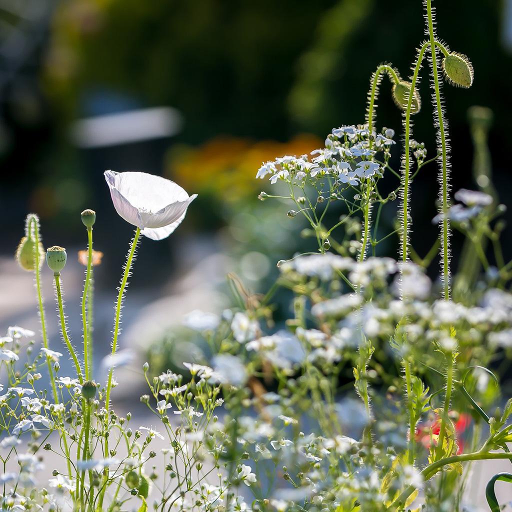 Poppy in a flower meadow